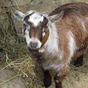 West African Pygmy Goat