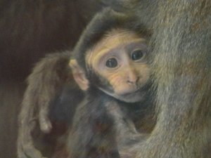 Baby_Macaque___Copy.jpg