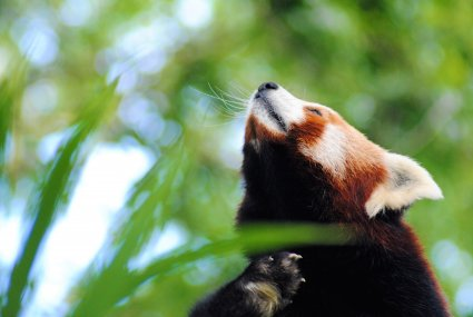 Beautiful_Red_Panda_photo_taken_by_Sophia_Dennett_at_Drusillas_Park.jpg