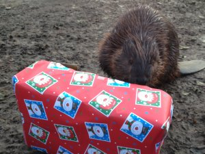 Beaver_with_a_Christmas_Food_Parcel_at_Drusillas_Park.JPG