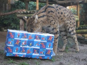 Benson_the_serval_discovers_a_food_parcel_at_Drusillas_Park.JPG