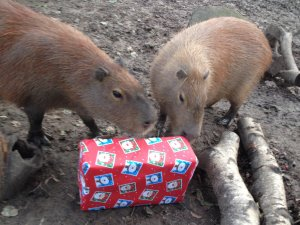 Capybaras_with_their_Christmas_food_parcel_at_Drusillas_Park.JPG