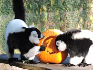 Drusillas_Park_s_Black_and_White_Lemurs_Delight_at_their_Frighteningly_Good_Feast_2.JPG