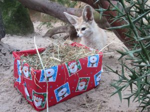 Fennec_Fox_discovers_her_Christmas_Food_Parcel_at_Drusillas_Park.JPG