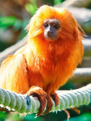 Golden Lion Tamarin_1.jpg