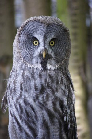 Great Grey Owl_1.jpg