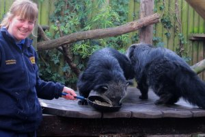Keeper__Gemma_Romanis_Serves_Up_a_Pancake_Treat_to_the_Binturong_at_Drusillas_Park__2_.JPG