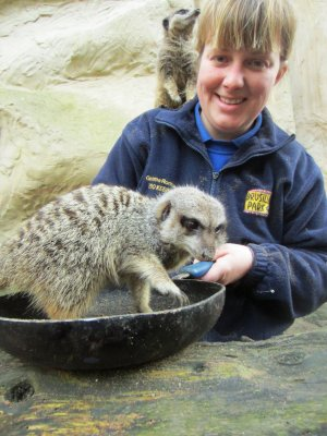Keeper__Gemma_Romanis_Serves_up_a_Pancake_Treat_to_the_Meerkats_at_Drusillas_Park.JPG