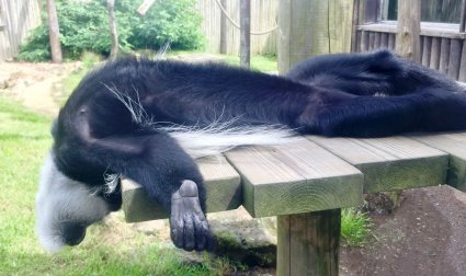 Laid back Colobus Chills in the Sun at Drusillas Park_1.JPG