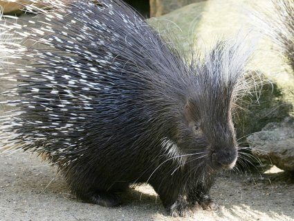 Lonely_Hearted_Robbie_the_Porcupine_at_Drusillas_Park.jpg