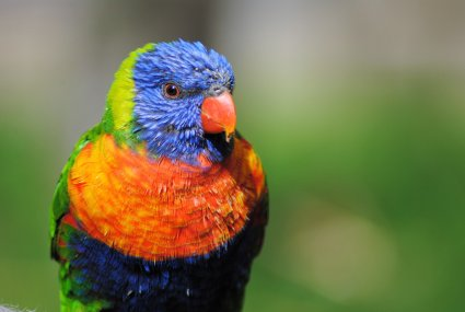 Lorikeet_photo_taken_by_Sophia_Dennett_at_Drusillas_Park.jpg