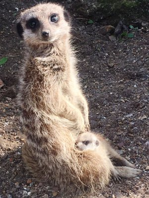 Meerkats_Soak_up_the_Sun_at_Drusillas_Park.JPG