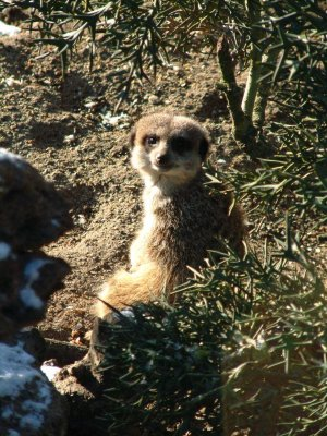 Meerkats_wake_up_to_snow_at_Drusillas_Park.jpg