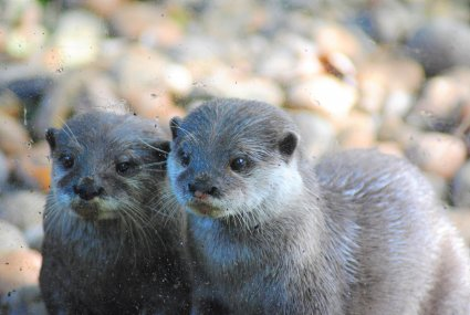 Otters_photo_taken_by_Sophia_Dennett_at_Drusillas_Park.jpg