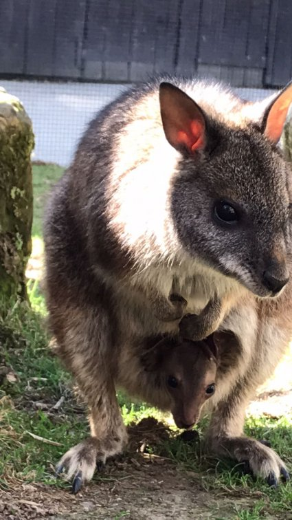 Parma_Wallaby_joey_and_mum_Doris.jpg