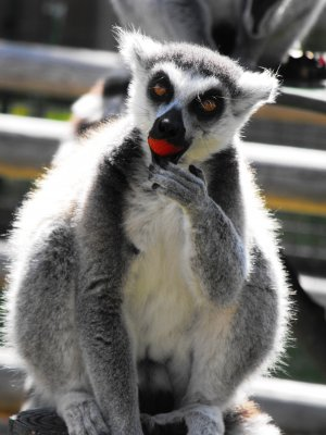 Ring_tailed_Lemurs_Eat_Stawberries_at_Drusillas_Park.jpg