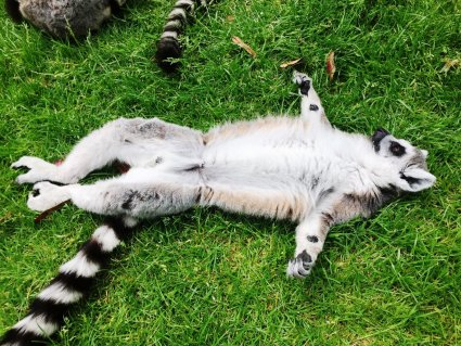 Ring_tailed_lemur_Basks_at_Drusillas_Park_.JPG