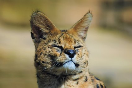 Serval_photo_taken_by_Sophia_Dennett_at_Drusillas_Park.jpg