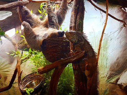 Sloth_and_Green_Iguana_bond_in_their_new_enclosure__copy_.jpg