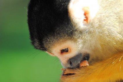 Squirrel_Monkey_photo_taken_by_Sophia_Dennett_at_Drusillas_Park.jpg