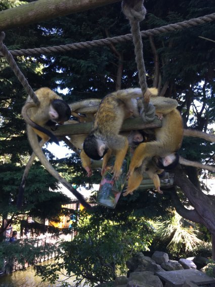 Squirrel_Monkeys_tuck_into_a_frozen_treat.jpg