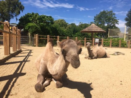 The_Camels_Soak_up_the_Sun_at_Drusillas_Park.JPG