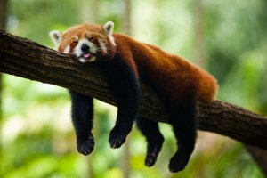 red_panda_sleeping.jpg