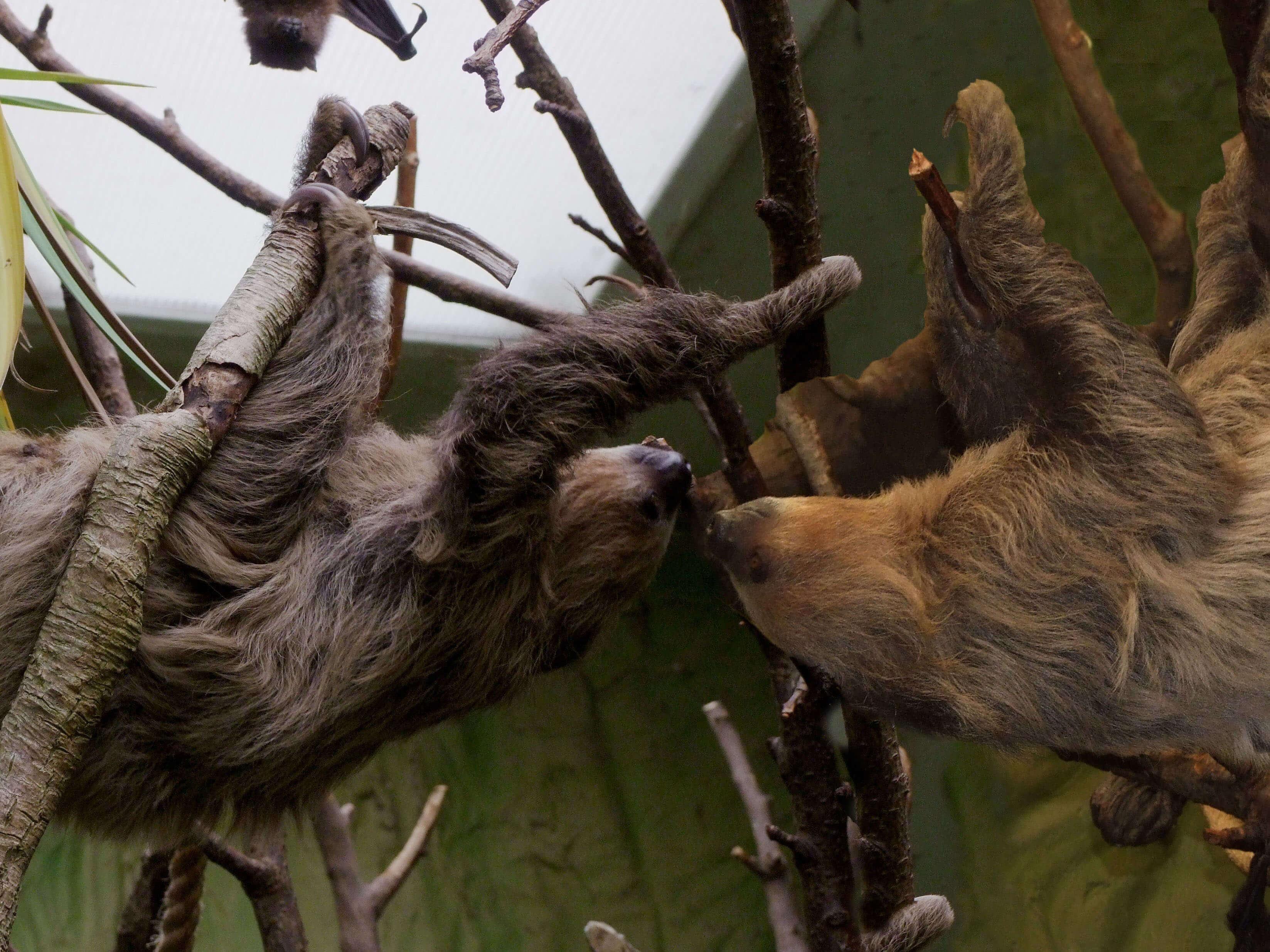 Adopt a Sloth   Sponsor a Sloth UK   Drusillas Park
